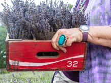 Lavender farmer planting